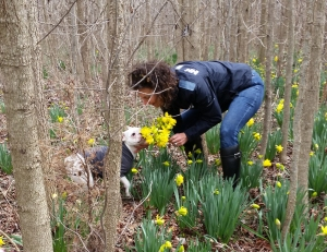 daffodils are dandy